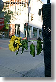 canada, sunflowers, trash, vancouver, vertical, photograph