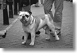 amsterdam, dogs, europe, horizontal, streets, photograph