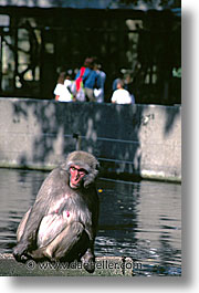 amsterdam, baboons, europe, vertical, zoo, photograph