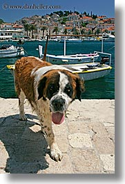 boats, croatia, dogs, europe, harbor, hvar, st bernard, towns, vertical, photograph