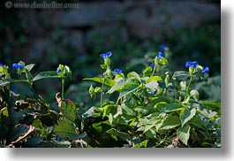 blues, croatia, europe, flowers, horizontal, mali losinj, photograph