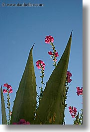 cactus, croatia, europe, flowers, milna, vertical, photograph
