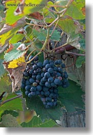 croatia, europe, grapes, red, vertical, photograph