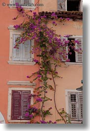 bougainvilleas, croatia, europe, large, rovinj, vertical, photograph