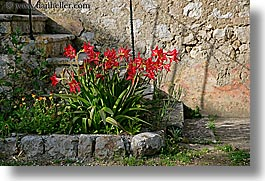 amaryllis, croatia, europe, flowers, gardens, horizontal, sipan, photograph