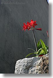 amaryllis, croatia, europe, flowers, sipan, vertical, photograph