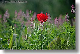 croatia, europe, flowers, horizontal, poppies, poppiy, red, sipan, photograph