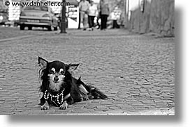 black and white, czech republic, dogs, europe, horizontal, likes, papillon, prague, streets, photograph