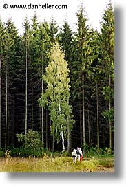 birch, czech republic, europe, hiking, sumava forest, vertical, photograph