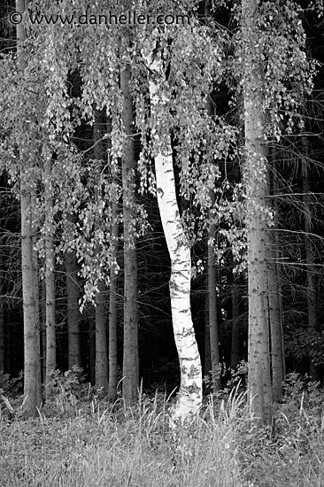 Birch tree bw birch black and white czech republic europe