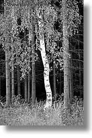birch, black and white, czech republic, europe, sumava forest, trees, vertical, photograph