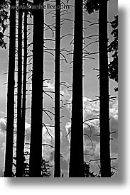 black and white, czech republic, europe, spikey, sumava forest, trees, vertical, photograph