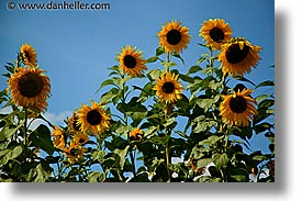 czech republic, europe, horizontal, sumava forest, sunflowers, photograph