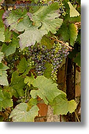 czech republic, europe, grapes, red, valtice, vertical, photograph