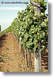 czech republic, europe, grapes, valtice, vertical, white, photograph