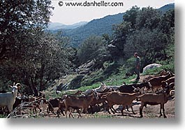 corsica, europe, france, fromagerie, goats, herd, horizontal, photograph