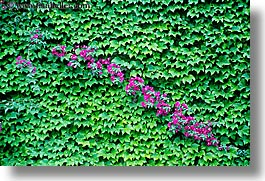 europe, flowers, france, horizontal, ivy, leaves, nice, photograph