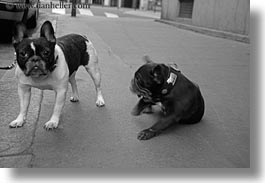 black and white, bulldogs, dogs, emotions, europe, france, french, horizontal, humor, paris, photograph