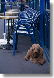 dogs, europe, france, paris, poodle, vertical, photograph