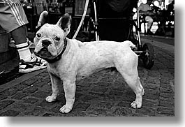 aix en provence, black and white, bulldogs, europe, france, french, horizontal, provence, photograph