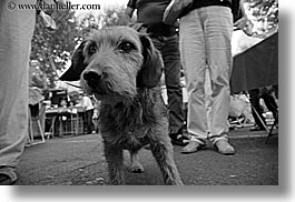 aix en provence, black and white, dogs, europe, france, horizontal, provence, scruffy, photograph