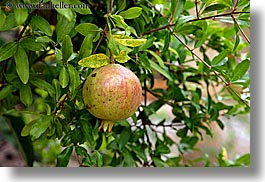 apples, colors, europe, france, green, horizontal, hotel des messugues, nature, plants, provence, trees, photograph