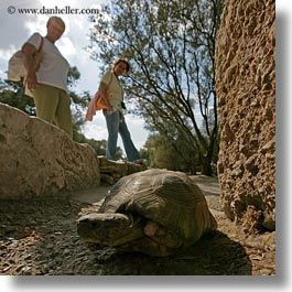 animals, athens, europe, greece, square format, squares, turtles, walking, womens, photograph