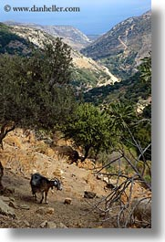 europe, goats, greece, naxos, scenics, trees, vertical, photograph