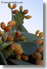 cactus, europe, flowers, greece, pears, prickly, tinos, vertical, photograph