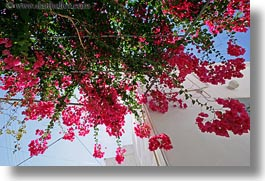 bougainvilleas, europe, flowers, greece, horizontal, red, tinos, upview, photograph