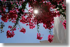 bougainvilleas, europe, flowers, greece, horizontal, red, sun, tinos, upview, photograph