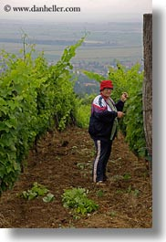clothes, europe, grapes, hats, hungary, people, picking, tarcal, vertical, womens, photograph