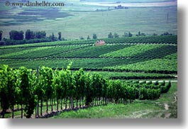 europe, grape vines, horizontal, houses, hungary, nature, plants, tokaj hills, vines, vineyards, photograph