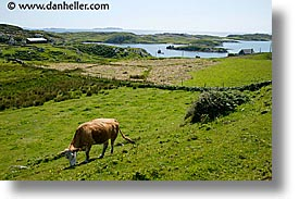 connaught, connemara, cows, europe, grazing, horizontal, inishbofin, ireland, irish, mayo county, western ireland, photograph
