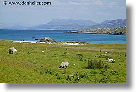 connaught, connemara, europe, horizontal, inish, inishbofin, ireland, irish, mayo county, sheep, western ireland, photograph