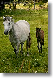 connaught, connemara, europe, foal, horses, ireland, irish, mayo county, vertical, western ireland, photograph