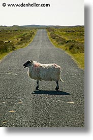 connaught, connemara, europe, ireland, irish, mayo county, sheep, vertical, western ireland, photograph