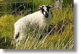 connaught, connemara, europe, horizontal, ireland, irish, mayo county, sheep, western ireland, photograph
