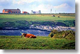 cork county, cows, dingle, dingle penninsula, europe, horizontal, ireland, munster, photograph