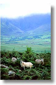 cork county, dingle, dingle penninsula, europe, ireland, munster, sheep, vertical, photograph