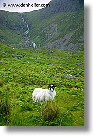 cork county, europe, ireland, irish, kerry, kerry penninsula, munster, ring of kerry, sheep, vertical, waterford county, western ireland, photograph