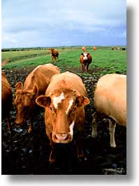 cork county, cows, europe, ireland, irish, loop head, loophead penninsula, munster, vertical, photograph