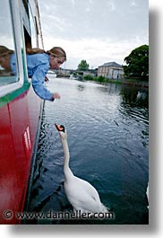 athlone, county shannon, europe, ireland, irish, shannon, shannon river, swans, vertical, photograph