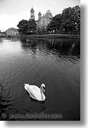 athlone, black and white, county shannon, europe, ireland, irish, shannon, shannon river, swans, vertical, photograph