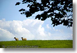 county shannon, dublin, europe, hills, horizontal, ireland, irish, lough derg, shannon, shannon river, sheep, photograph