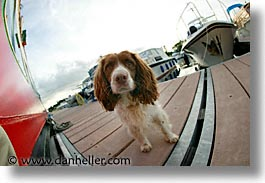 county shannon, dublin, europe, fisheye lens, horizontal, ireland, irish, shannon, shannon river, spaniel, photograph