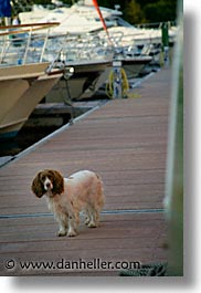 county shannon, europe, ireland, irish, shannon, shannon river, spaniel, vertical, photograph