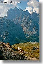 alto adige, animals, cows, dolomites, europe, italy, vertical, photograph