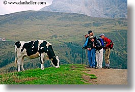 alto adige, animals, cows, dolomites, europe, groups, horizontal, italy, photograph