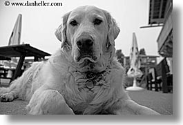 alto adige, animals, black and white, dogs, dolomites, europe, horizontal, italy, white lab, photograph